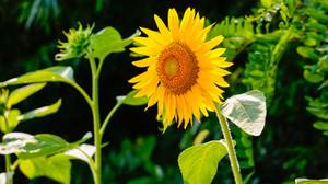 Sunflower290496_960_720